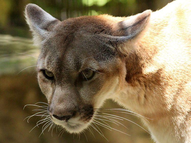 cougar-3599057_1920