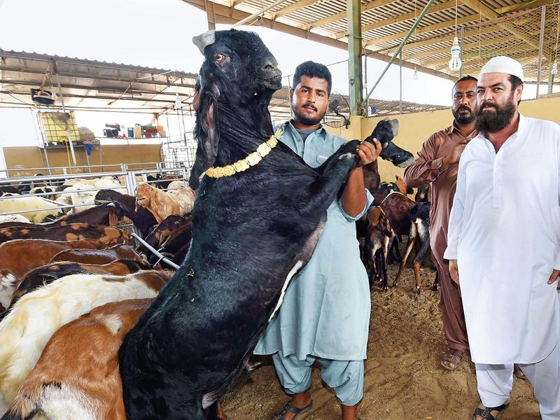 Customers inspect livestock at the Dubai Cattle Market