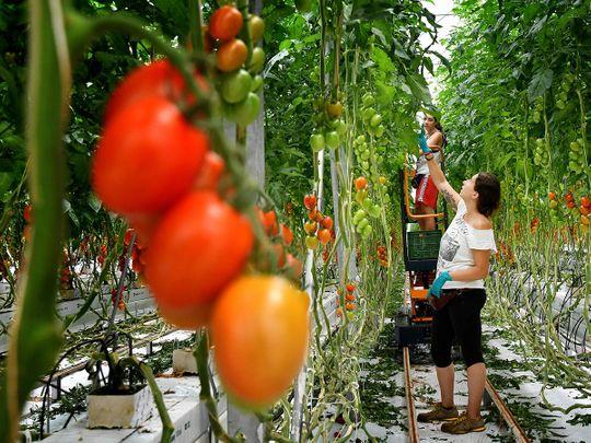 Italian tomato