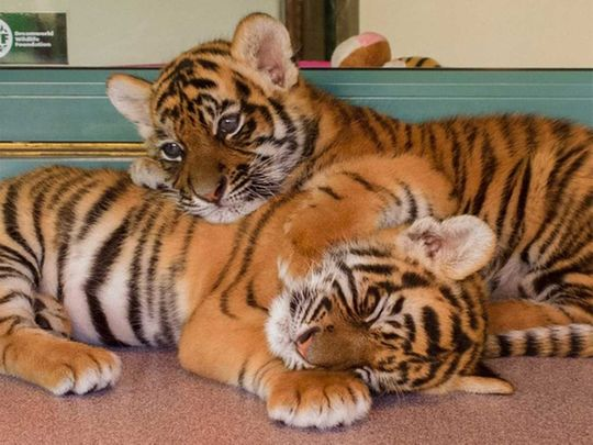 190809 tiger cubs