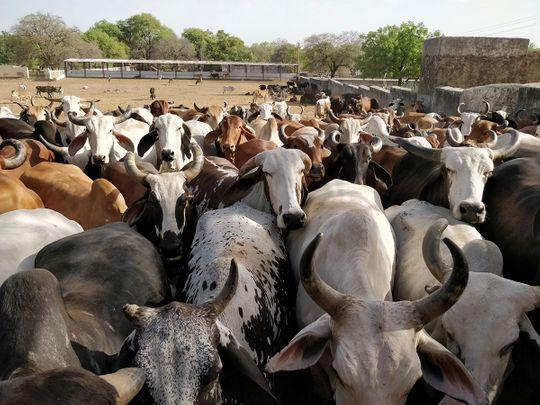 iStock-957820114 india cows