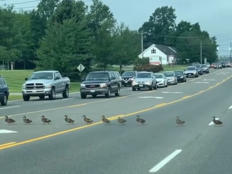 Ducklings try to cross a road in Maine, US