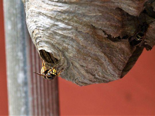A wasps' nest