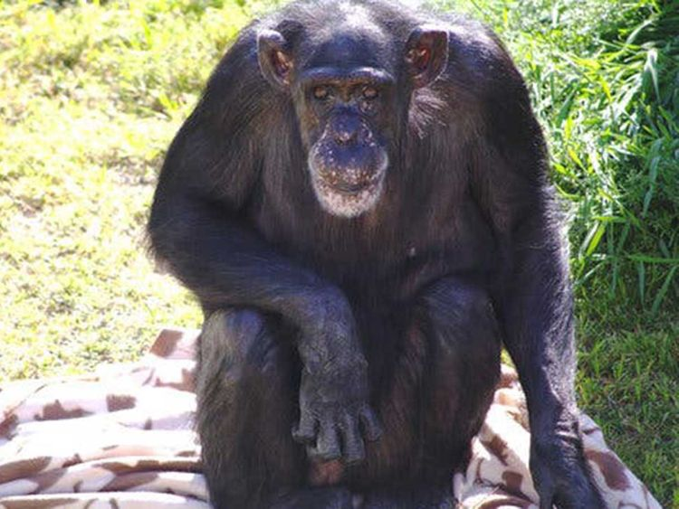 190814 smartest chimpanzee