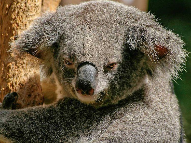 190821 koala