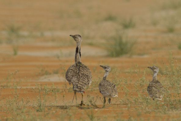 NAT 190822  Learn all about the emblematic Houbara Bustard at ADIHEX 2019 1-1566496320278