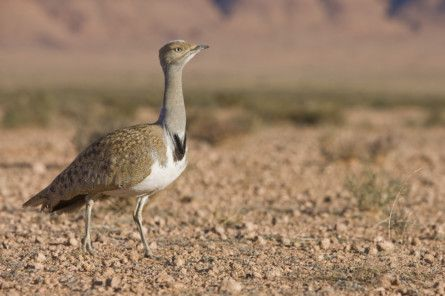 NAT 190822  Learn all about the emblematic Houbara Bustard at ADIHEX 2019-1566496318344
