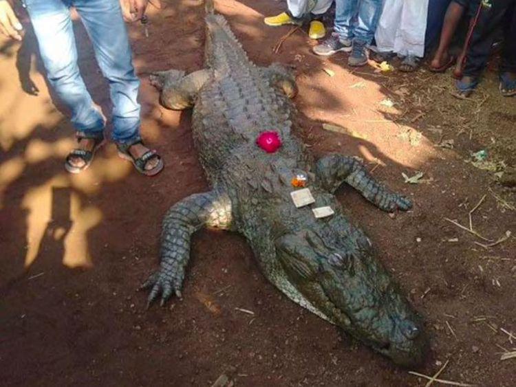 Gangaram crocodile