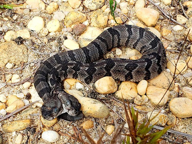 Two_Headed_Rattlesnake_49451.jpg-28f08-(Read-Only)