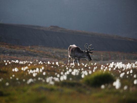 Reindeer, generic