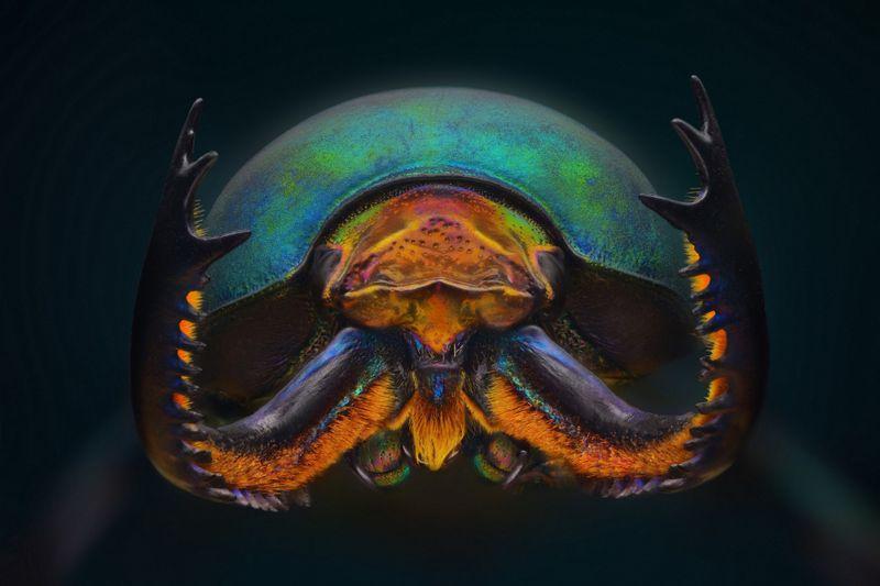 MacroLamprima adoiphinae -Stag beetle-1568556054059