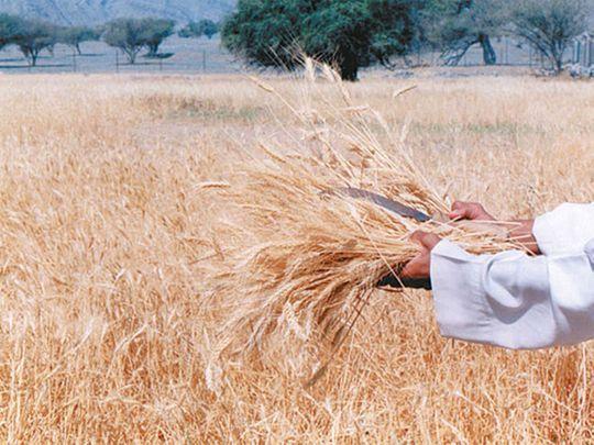 190916 wheat