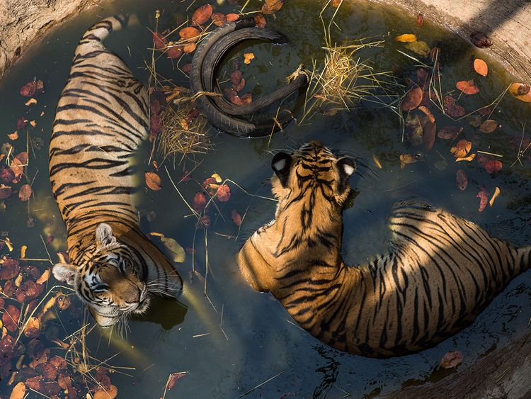 Thai temple tigers