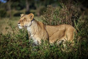 TOD Lioness-1568812575370