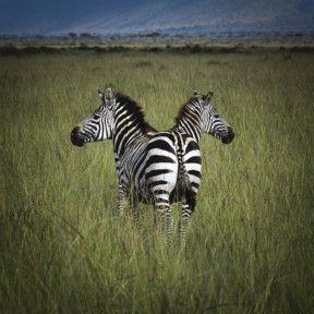 TOD Two zebras-1568812578704