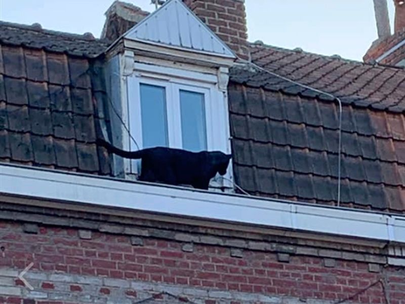 Panther on roof 2