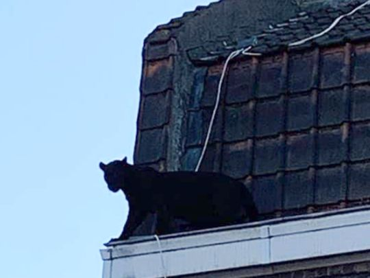 Panther on roof