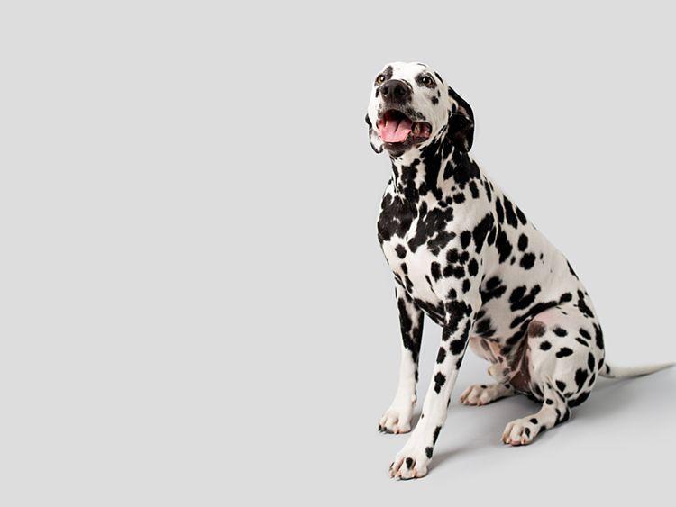 OPN DALMATION DOG-1569241966868