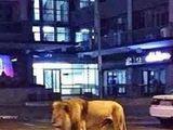 Saudi_Lion