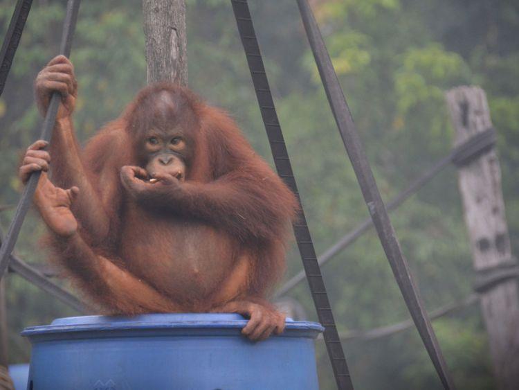 WLD 190925 Orangutan.JPG-1569591087868
