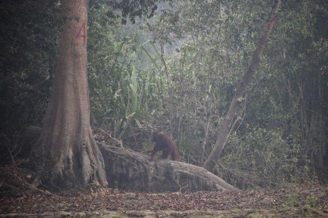 WLD 190925 Orangutan22-1569591090187