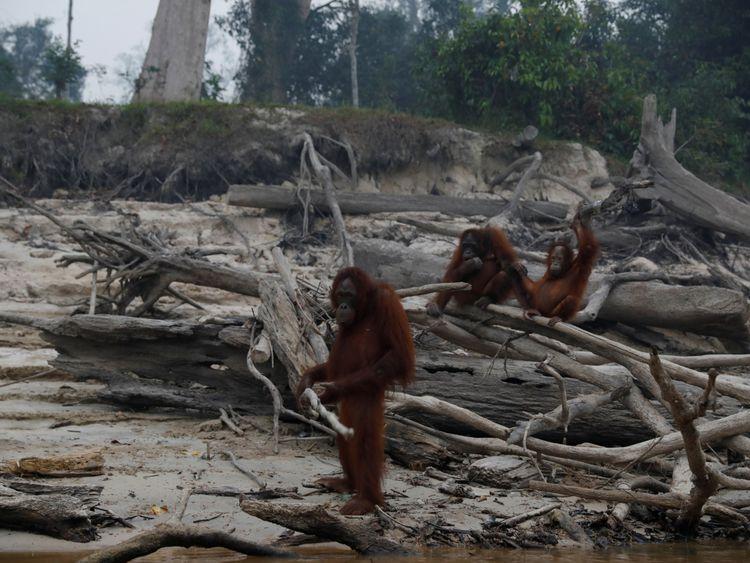 WLD 190925 Orangutan4-1569591099756