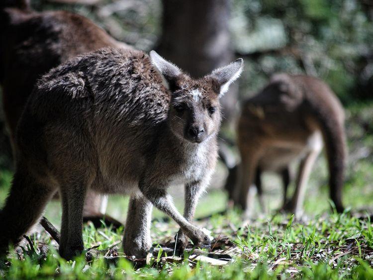 innovative design e50b3 7d0cb Twenty kangaroos killed in apparent hit-and-run spree ...