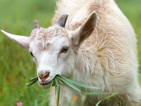 A goat can cost you