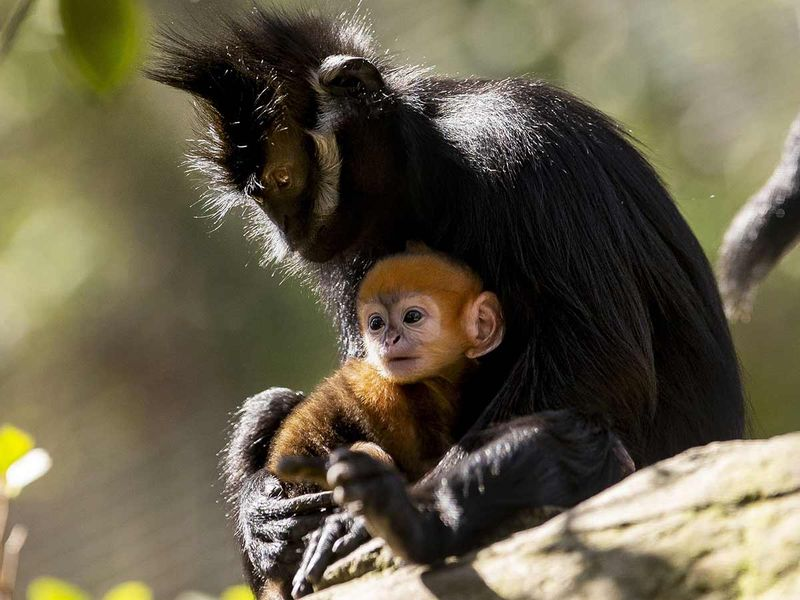 Francois' Langur with mother 20191004