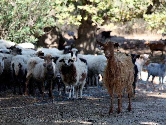 191006 goat herding