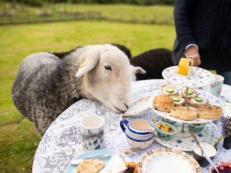 Tea with Naughty Sheep