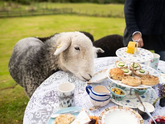 Tea with Naughty Sheep