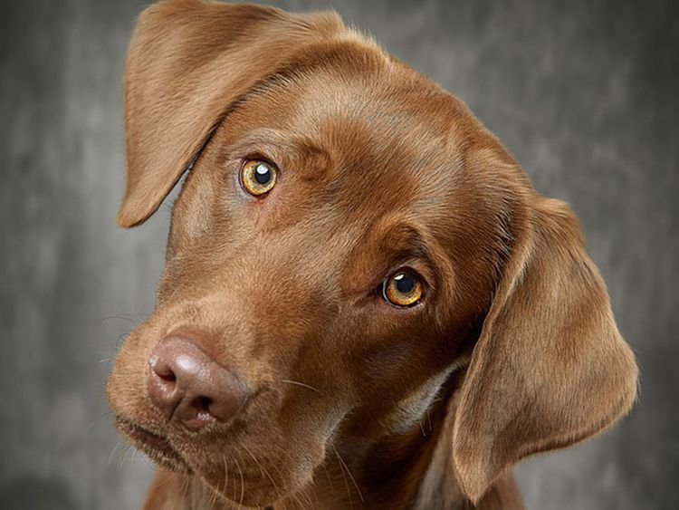 Labrador, generic
