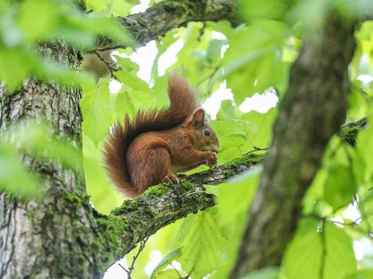 A squirrel resting on a tree nibbles a nut