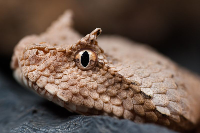 The Persian horned viper