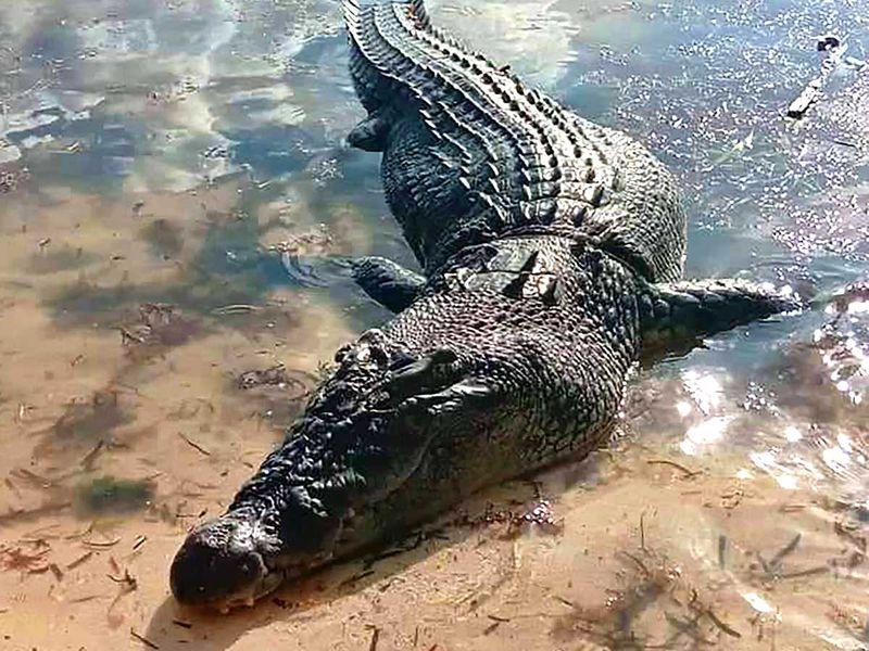 191010 crocodile