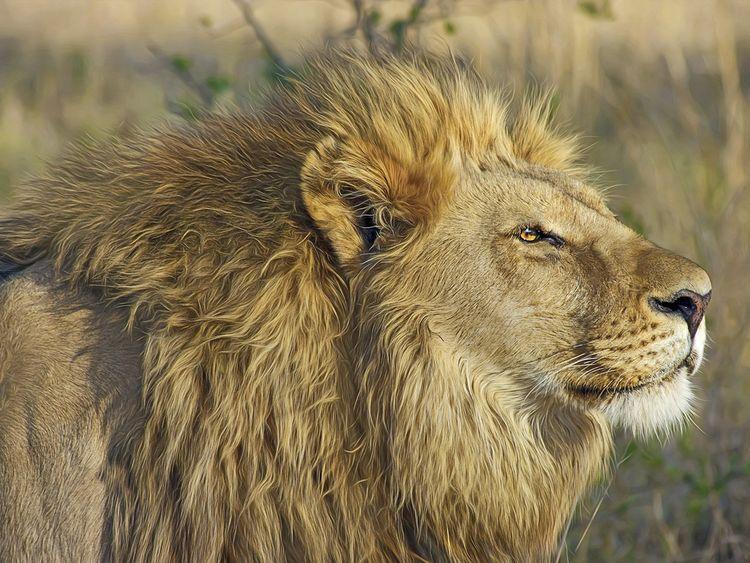 lion generic