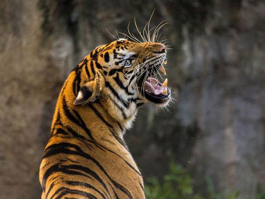 tiger generic