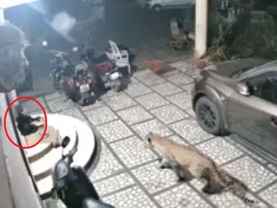 Leopard attacks a sleeping dog 00121