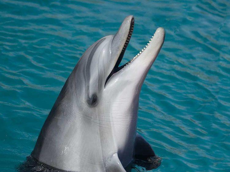 Dolphin generic