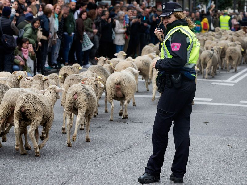 Copy-of-Spain_Sheep_Crossing_39011