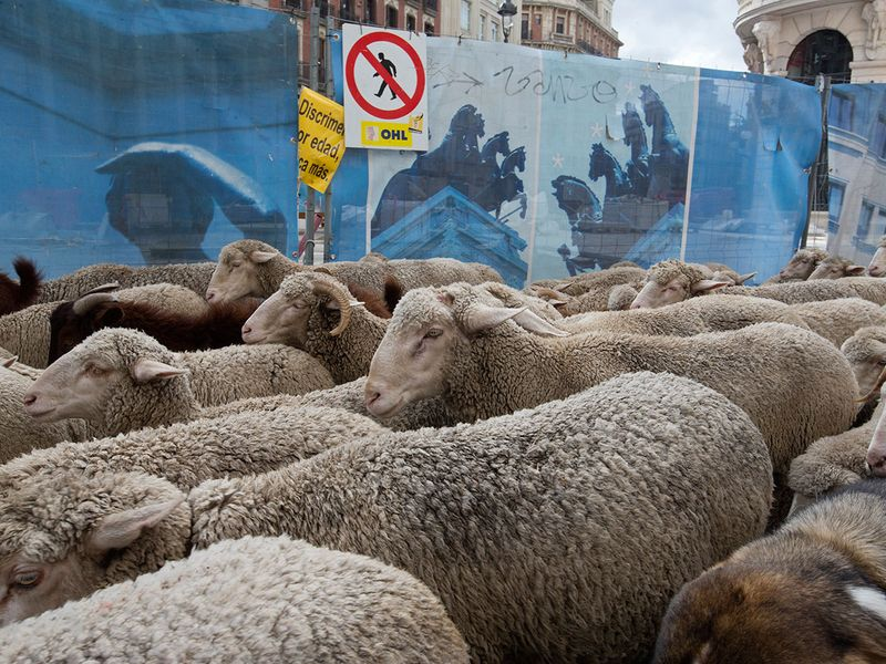 Copy-of-Spain_Sheep_Crossing_41519