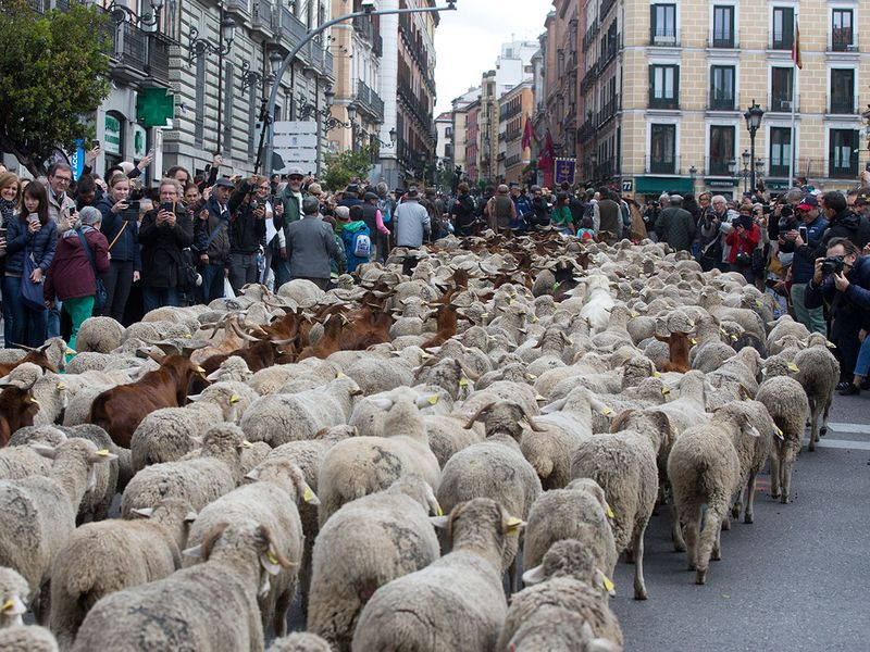 Copy-of-Spain_Sheep_Crossing_73085