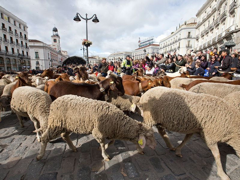 Copy-of-Spain_Sheep_Crossing_88485
