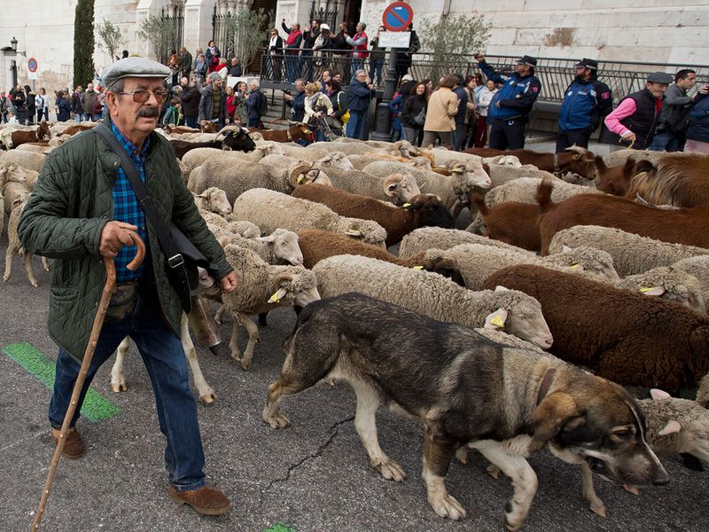 Copy-of-Spain_Sheep_Crossing_90366