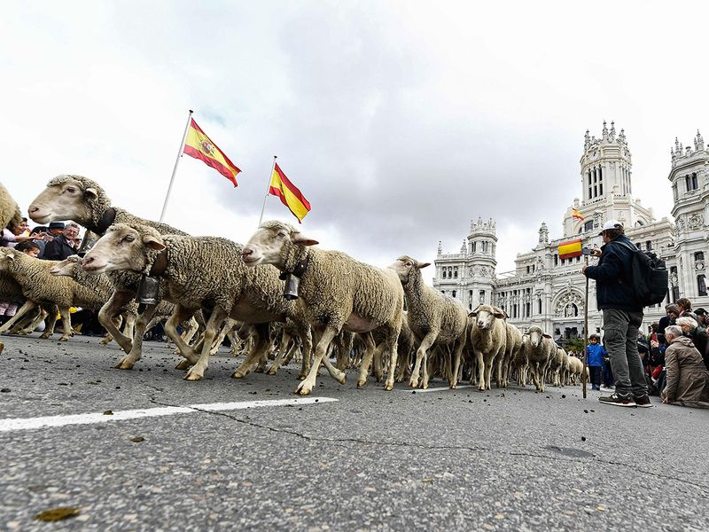 Flocks of sheep and goats are herded in the city center of Madrid.