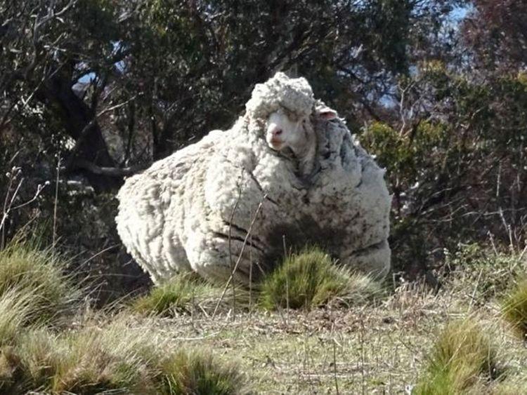 2019-10-22T065551Z_1296829782_RC14B41CBEB0_RTRMADP_3_AUSTRALIA-SHEEP-(Read-Only)