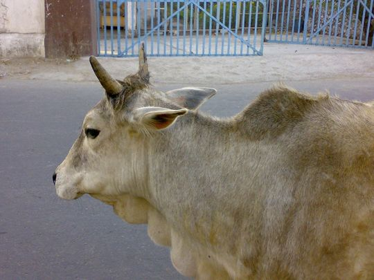 stray cattle cow generic