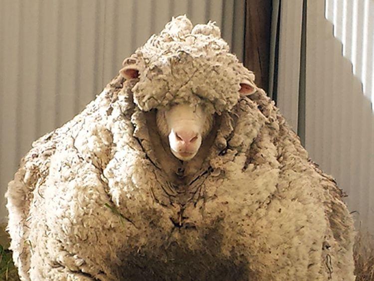 Chris sheep