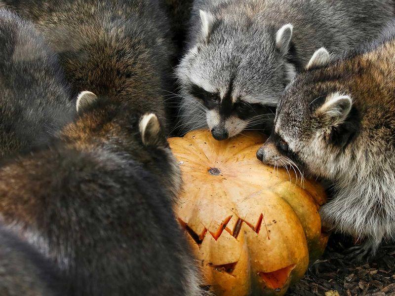 191030 raccoons